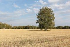El árbol de abedul que se coloca en un amarillo siega abajo el campo en otoño Fotos de archivo