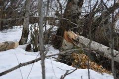 El árbol de abedul redujo en la nieve por el castor Imagenes de archivo