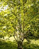 El árbol de abedul se va durante una salida del sol del verano de Minnesota Imagen de archivo