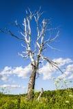 El árbol de abedul seco viejo Fotografía de archivo