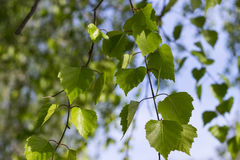 El árbol de abedul verde fresco deja follaje contra el cielo azul, fondo de la primavera Imagenes de archivo