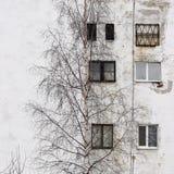 el árbol de abedul y la ventana en el fondo de casas con las ventanas enyesaron el yeso blanco Foto de archivo libre de regalías