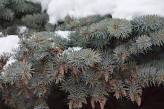 El árbol de abeto crece en el bosque Foto de archivo libre de regalías