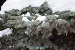 El árbol de abeto crece en el bosque Fotografía de archivo