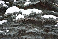 El árbol de abeto crece en el bosque Fotos de archivo libres de regalías