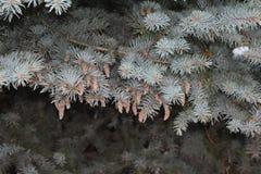 El árbol de abeto crece en el bosque Imagen de archivo libre de regalías