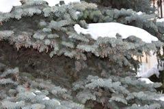 El árbol de abeto crece en la picea azul del bosque en nieve Imagen de archivo