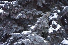 El árbol de abeto crece en la picea azul del bosque en nieve Fotografía de archivo libre de regalías