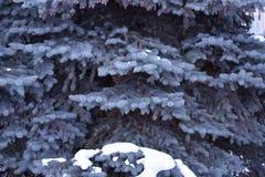 El árbol de abeto crece en la picea azul del bosque en nieve Fotos de archivo libres de regalías