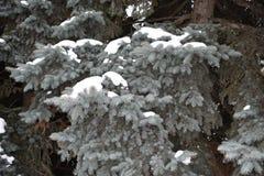 El árbol de abeto crece en la picea azul del bosque en nieve Imagen de archivo libre de regalías
