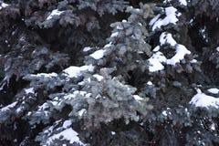 El árbol de abeto crece en la picea del azul del bosque Imagen de archivo libre de regalías