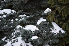 El árbol de abeto crece en la picea del azul del bosque Fotografía de archivo