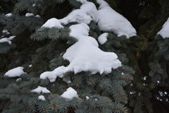 El árbol de abeto crece en la picea del bosque en nieve Foto de archivo libre de regalías