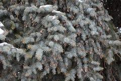 El árbol de abeto crece en la picea del bosque en nieve Fotografía de archivo