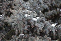 El árbol de abeto crece en la picea del bosque en nieve Fotos de archivo libres de regalías