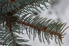 El árbol de abeto crece en la rama de la picea del bosque Fotografía de archivo
