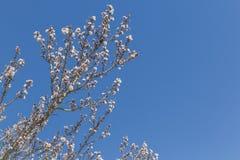 El árbol de almendra florece, cielo azul, fondo de la primavera Fotografía de archivo