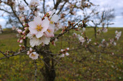 El árbol de almendra florece con el cielo azul con el fondo de las nubes fotos de archivo libres de regalías