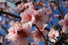El árbol de almendra florece con el cielo azul con el fondo de las nubes foto de archivo