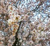 El árbol de almendra florece con el cielo azul con el fondo de las nubes fotografía de archivo