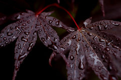 El árbol de arce japonés púrpura se va con descensos del agua Fotografía de archivo