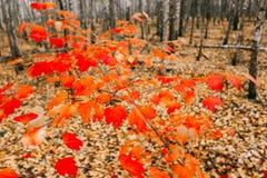 El árbol de arce joven crece en la arboleda del abedul Arce con las hojas rojas Fotos de archivo