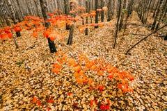 El árbol de arce joven crece en la arboleda del abedul Arce con las hojas rojas Fotos de archivo libres de regalías