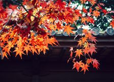 El árbol de arce rojo sale del fondo de Japón de la estación del otoño Fotografía de archivo