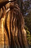 El árbol de Australiana fotografía de archivo