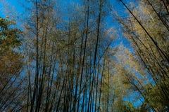El árbol de bambú fotos de archivo