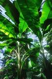 El árbol de Banane en el invernadero Imagen de archivo libre de regalías
