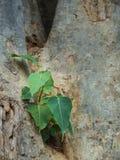 El árbol de Bodhi crece dentro del árbol grande Fotos de archivo libres de regalías