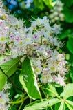 El árbol de castaña florece en el blanco hermoso de la primavera con las flores rosadas Imagen de archivo