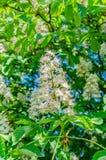El árbol de castaña florece en el blanco hermoso de la primavera con las flores rosadas Foto de archivo libre de regalías