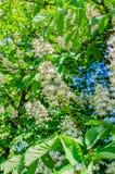 El árbol de castaña florece en el blanco hermoso de la primavera con las flores rosadas Fotos de archivo