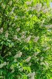 El árbol de castaña florece en el blanco hermoso de la primavera con las flores rosadas Imagenes de archivo