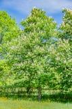 El árbol de castaña florece en el blanco hermoso de la primavera con las flores rosadas Imagen de archivo libre de regalías