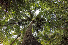 El árbol de coco grande Imagenes de archivo