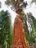 El árbol de general Shermann, el árbol más grande en la tierra Foto de archivo libre de regalías