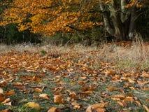El árbol de haya corpulento al borde de un bosque con las hojas coloreadas en caída imagenes de archivo