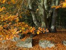 El árbol de haya corpulento al borde de un bosque con las hojas coloreadas en la caída 2 fotos de archivo libres de regalías