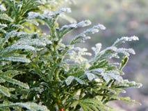 El árbol de hoja perenne escarchado anuncia finales de la caída y el principio del invierno Imagenes de archivo