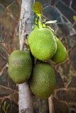 El árbol de Jackfruit Fotografía de archivo libre de regalías