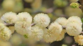 El árbol de la espina del camello florece - fondo de la flor salvaje de África - sorpresa de la primavera Fotografía de archivo