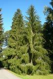 El árbol de la picea de la serpiente (la Picea abies viminalis) imagen de archivo