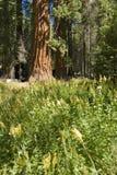El árbol de la secoya gigante Fotografía de archivo libre de regalías