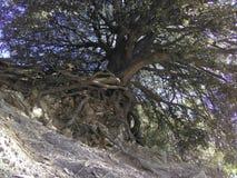 El árbol de la vida Imagen de archivo