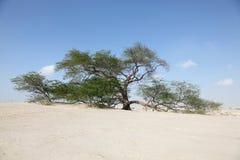 El árbol de la vida en Bahrein Fotos de archivo libres de regalías