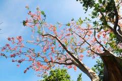 El árbol de llama o el Poinciana real Fotografía de archivo libre de regalías