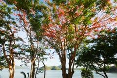 El árbol de llama o el Poinciana real Imagen de archivo